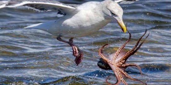 Un hombre salva a una gaviota de los tentáculos de un pulpo