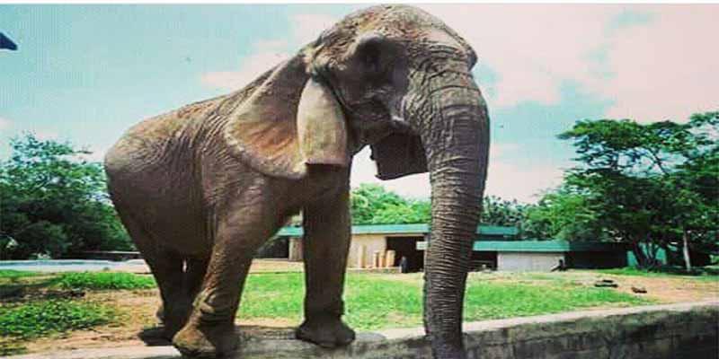 'Gira', la elefanta más famosa de Venezuela, ha muerto de hambre