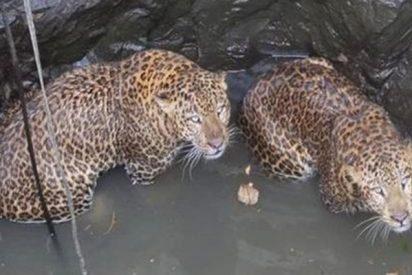 El dramático rescate de estos dos leopardos que cayeron a un pozo mientras peleaban por su territorio