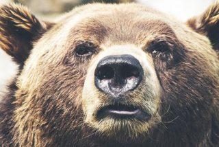 Los osos se imitan entre sí los gestos que hacen con la cara, como humanos y gorilas