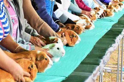Insólito: Un alcalde de Perú casará a dos roedores
