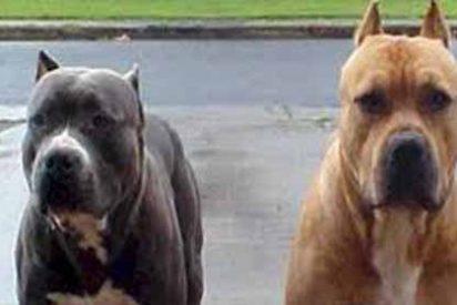 Dos perros pitbull atacan salvajemente a su dueña hasta quitarle la vida en un refugio para animales