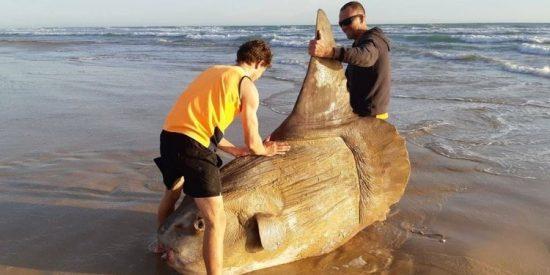 Encuentra a un monstruoso pez en la playa de Australia