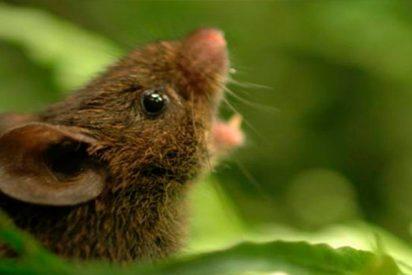 Así muestra el ratón cantor Alston cómo dialogamos los humanos