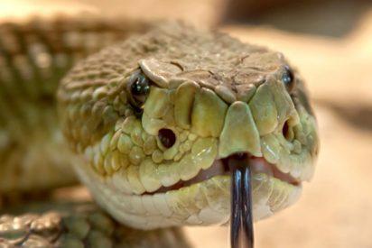 Las asombrosas maniobras de estas ratas 'ninja' en una batalla a muerte contra una serpiente cascabel