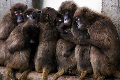 Fotos: Los simios reaccionan de forma muy distinta ante una cámara trampa