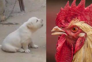 Este perrito, que cree ser un gallo y hasta cacarea, se vuelve viral