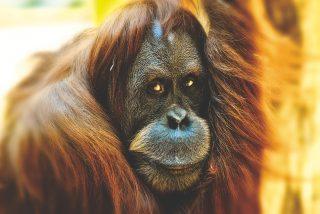 La desesperada lucha de este orangután contra los humanos que destruyen suhogar