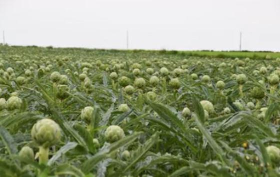 cultivo alcachofas