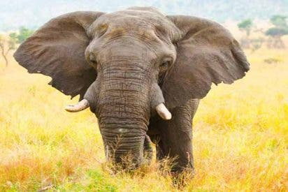 ¿Jumanji?: Cazador perseguía a un rinoceronte, pero fue atacado por un elefante y devorado por leones