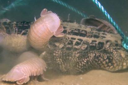 Graban por primera vez cómo un caimán se convierte en comida de isópodos gigantes a 2.000 metros de profundidad