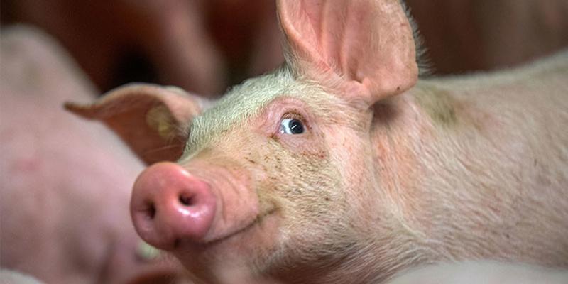 Descubren el verdadero origen de los cerdos domésticos