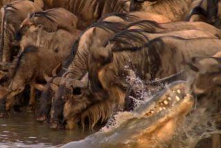 Momento en el que un feroz cocodrilo emerge del agua para atacar a una manada de ñus sedientos