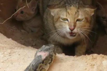 Esta gata se enfrenta a una temible serpiente para defender a sus crías y sabes cómo termina…