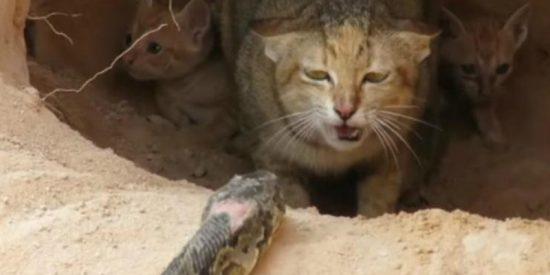 La gata se enfrenta a una feroz serpiente para defender a sus crías y sabes cómo termina…