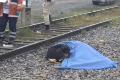 Este perro fiel se niega a abandonar el cuerpo de su dueño, arrollado por un tren