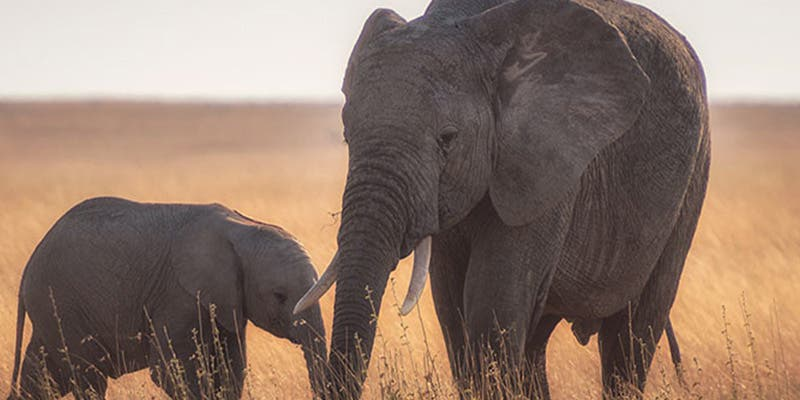 Un cazador mató a 5.000 elefantes y explicó la razón por la cual no se arrepiente