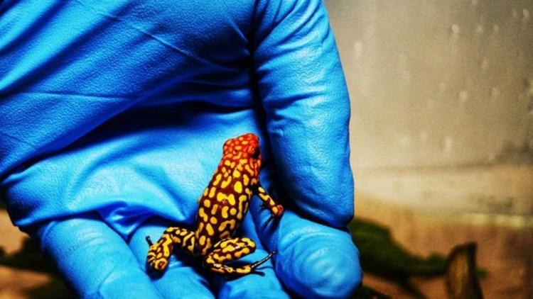 Tráfico animal en Colombia: Simulaban llevar rollos fotográficos, pero eran 400 ranas venenosas