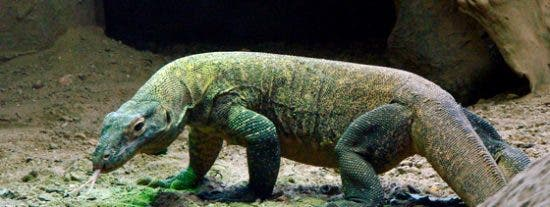 Indonesia cierra la isla de Komodo porque los turistas están robando sus dragones