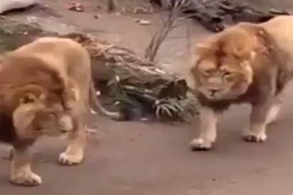 El vídeo que demuestra que los leones también pueden ser patosos