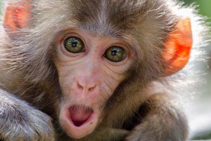 Científicos chinos han creado 11 monos con genes humanos para hacerlos más inteligentes