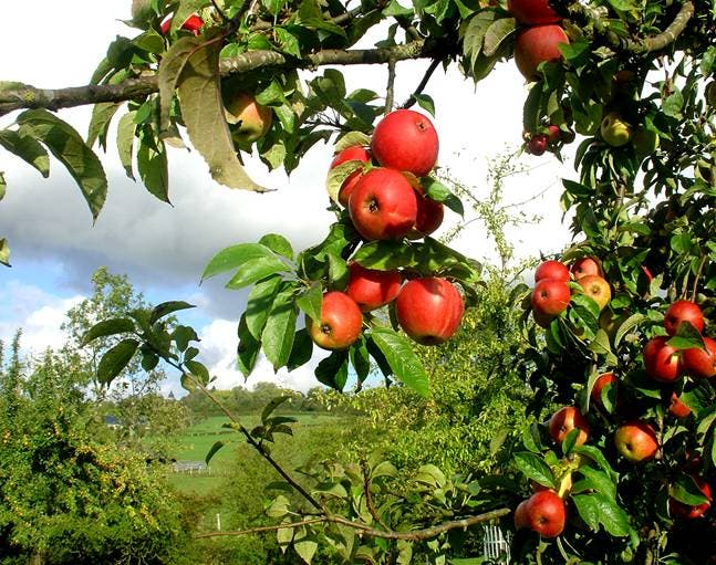 árbol manzano