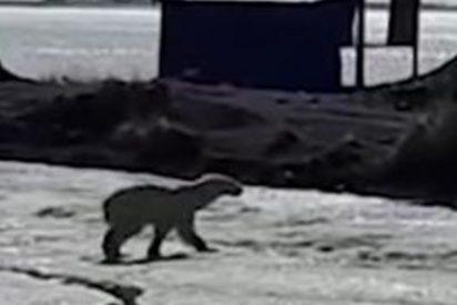 Encuentran a este oso polar «exhausto» tras caminar 700 kilómetros hasta la península rusa de Kamchatka