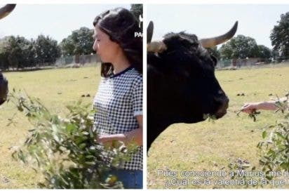 La candidata de Pacma confunde dar de comer a un buey con un toro bravo y las redes la destrozan sin piedad