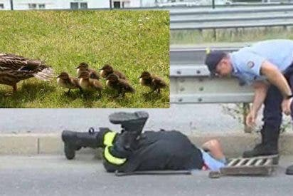 La mamá pata agradece la ayuda a estos policías que salvan la vida a sus patitos
