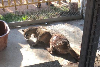 Vídeo: Un puma se 'cuela' en una casa en México
