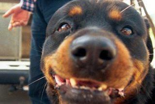 Condena de 20.000 euros de multa por el mordisco de un rottweiler