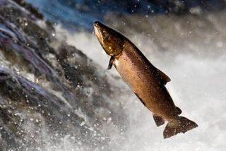 ¿Dónde puedo ver salmones saltando?
