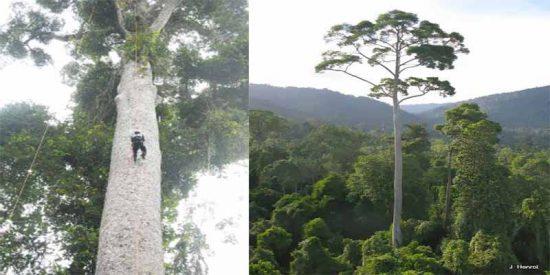 Encuentran en Borneo el árbol tropical más alto del mundo: un 'Meranti Amarillo' de más de 100 metros
