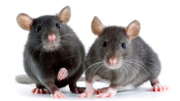 Las células madre de los folículos pilosos tienen el potencial de reparar las neuronas dañadas... en ratones