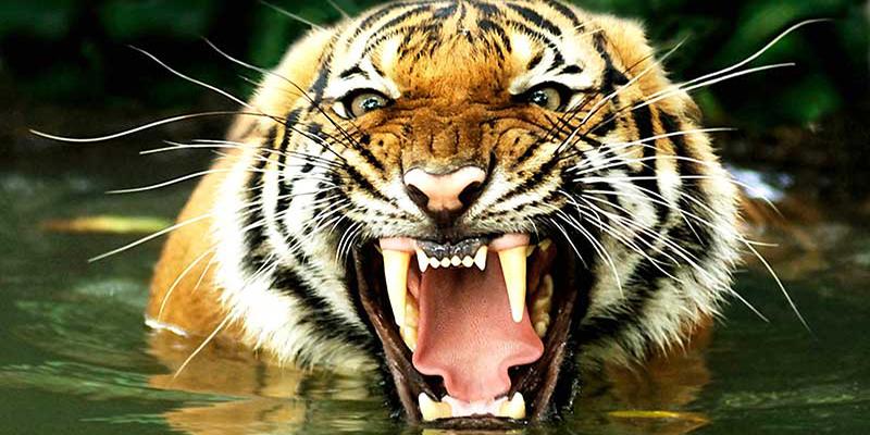 Vídeo: Un tigre salta desde un automóvil y trata de huir en plena calle
