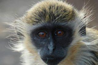 ¿Sabes qué palabra especial eligieron los monos para nombrar a los drones?