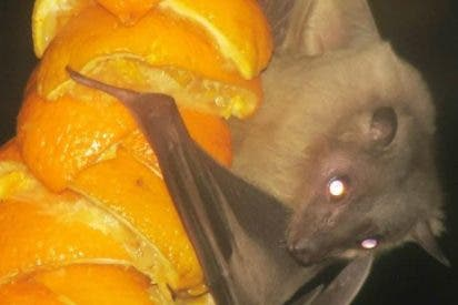 ¿Sabías que las hembras murciélagos de la fruta se 'prostituyen' a cambio de naranjas?