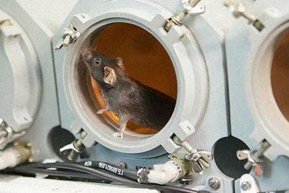Así reaccionan los ratones bajo microgravedad