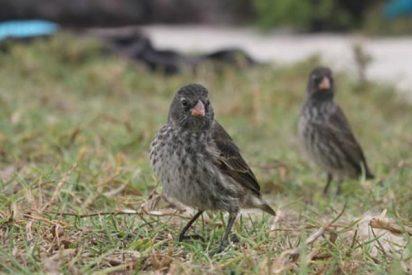 Los pinzones de Darwin de las Galápagos muy afectados por la actividad humana