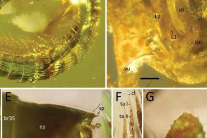 La nueva revelación del ámbar birmano: una suborden de milpiés de 99 millones de años de antigüedad