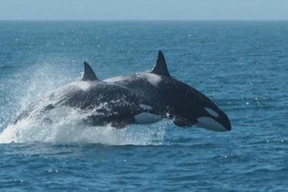 Orcas asesinas tienen menos opción de sobrevivir cuando pierden a un miembro de su familia
