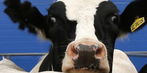 Muere la primera vaca clonada somáticamente en Japón