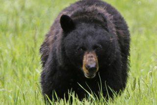 Vídeo: La bestial pelea entre dos osos en mitad de una carretera