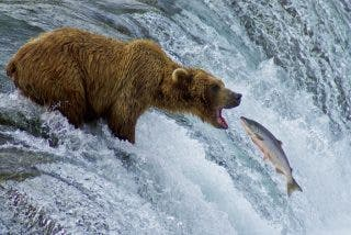 No te pierdas el vídeo del feroz oso grizzly cazando salmones