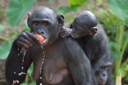 Bonobos, lo simios donde las madres controlan el comportamiento sexual de sus hijos varones