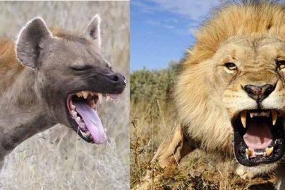 Cuando el Rey León mata a la asquerosa hiena
