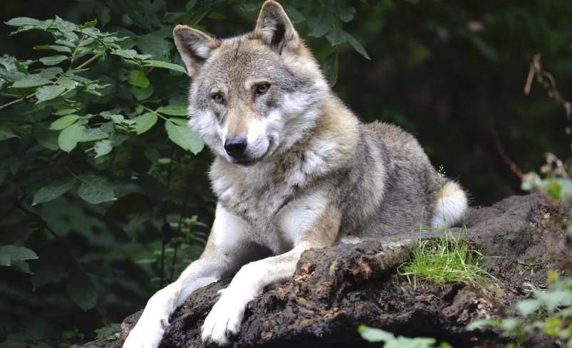 Diez Comunidades Autonomas y las Organizaciones Agrarias piden sensatez para la gestión del lobo ibérico