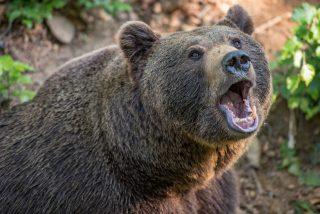 El oso glotón 'asalta' a los cazadores y les roba la comida
