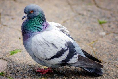 Esta paloma que cree ser una gallina lo peta en las redes