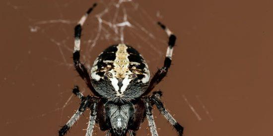 Encuentran una araña que tejía su tela dentro del oído de un hombre